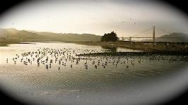 Crissy Marsh birds