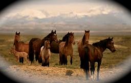 Nevada's wild horses